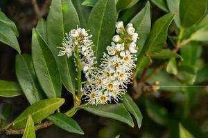ripresa macro di un fiore di laurocerasus alloro ciliegia foto