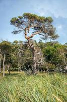 Unico albero di pino sorge su un prato di canne sulla costa tedesca del Mare del Nord foto