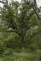 Quercia molto vecchia in un paesaggio forestale tedesco brughiera con erba di felce e alberi decidui foto