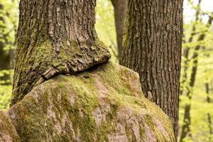 grande roccia arenaria nella foresta che è cresciuta fino a diventare un albero foto