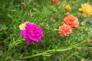 sfondo fiore di portulaca foto