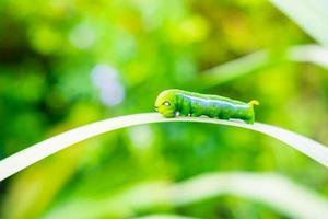 verme verde sulla foglia foto