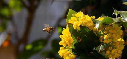 vista ravvicinata di un'ape sul fiore giallo con sfondo sfocato foto