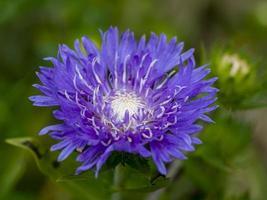 primo piano di un bellissimo fiordaliso viola in un giardino foto