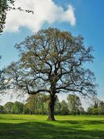 quercia con nuove foglie primaverili in un campo verde foto