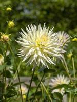 giallo pallido dalia cactus in un giardino foto