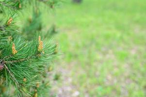 pino fioritura coni albero ramo di abete crescere foresta natura foto
