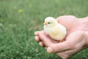 pulcino neonato che tiene uomo adulto mani del coltivatore foto