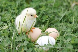 pulcino uova di gallina fattoria erba pasqua felice natura foto