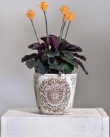 calathea crocata tassmania pianta da preghiera nel vaso vintage foto