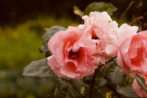 romantico fiore rosa rosa in giardino nella stagione primaverile foto