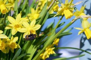 bombo impollina il narciso giallo all'aperto nel parco foto
