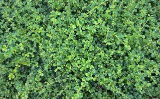 sfondo di foglie verdi naturali cime degli alberi del bambino foto