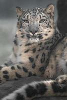 irbis leopardo delle nevi foto