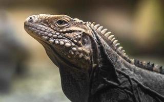 iguana roccia cubana foto