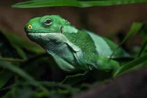 iguana fasciata delle Figi foto