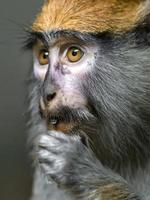 primo piano della scimmia di patas foto