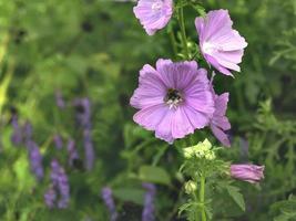 muschio fiore di malva malva moschata commestibili piante ornamentali da giardino closeup con messa a fuoco selettiva e copia spazio foto