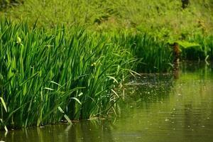 iris e canne in riva al fiume in primavera foto