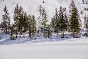 alberi di pino nella neve foto