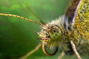 faccia della farfalla del grano saraceno o del primo piano della farfalla della citronella in foglia verde foto