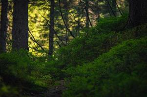 foresta della natura dei Carpazi su verdi colline nelle montagne estive foto