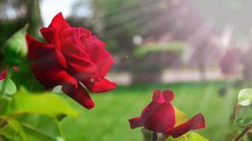 primo piano della rosa rossa bella selvaggia foto