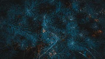 conifere rami verdi texture foto