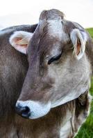 Close-up di una mucca sul monte altissimo vicino al lago di garda, trento, italia foto