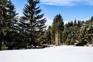 pini e neve foto