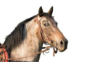 cavallo ritratto di un quarto di cavallo isolato su bianco foto