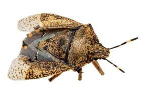 primo piano di uno scarafaggio bug marrone morto isolato foto