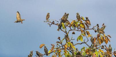 molti storni sono seduti su un albero di noce con fogliame autunnale e cielo blu foto