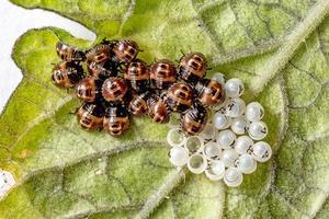 molte larve di coccinella scivolose su una foglia foto