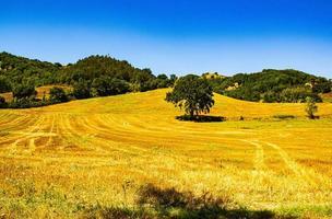 campi gialli con albero foto