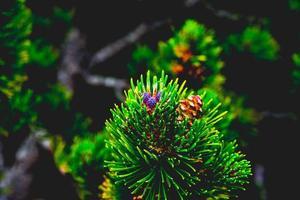 cono di pino mugo selvatico foto