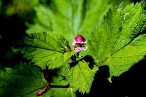 piccolo fiore di ortica foto