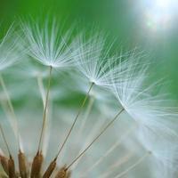 bellissimo fiore di tarassaco nella stagione primaverile foto