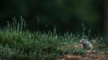 scoiattolo a terra europeo foto
