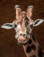 ritratto di giraffa foto