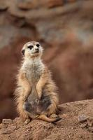 ritratto di meerkat foto