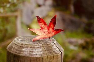 foglia d'acero rosso nella stagione autunnale foto