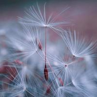 romantico fiore di tarassaco in primavera foto