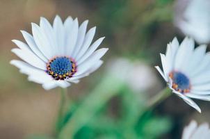gazania pianta da giardino in fiore bianco e blu foto