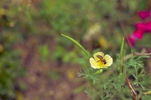 eschscholzia giallo sul primo piano prato con sfondo blured con un'ape foto