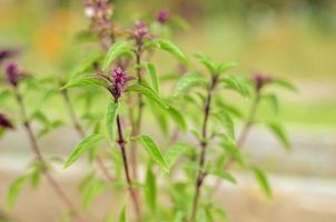 Coltivazione Di Foglie Di Basilico Fresche Foglie Di Basilico Verdi Pronte Per Assaggiare Le Gustose Ricette Di Cucina Sul Fondo Delle Erbe foto
