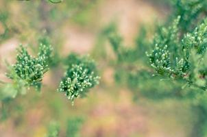 ginepro ramo di un albero trama sfondo verde ago sfocato primo piano foto