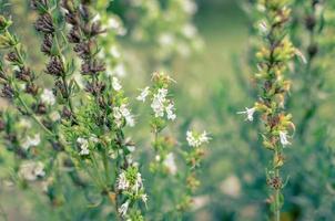 Thymus serpyllum fiorisce nel primo piano del giardino foto