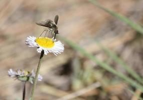 mosca ape sfocata che raccoglie polline con la sua proboscide da un astro bianco e giallo foto