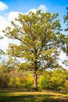 estate nella soleggiata foresta di querce foto